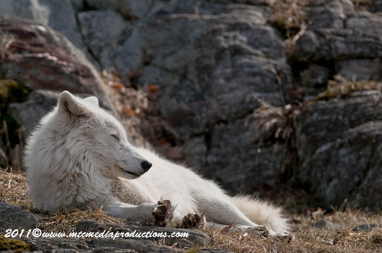 Arctic Wolf Picture-522