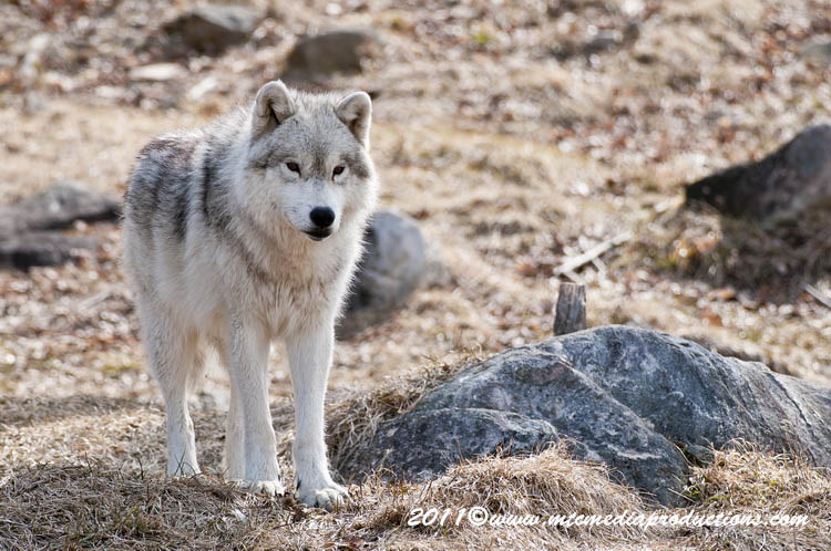 Arctic Wolf Picture-523