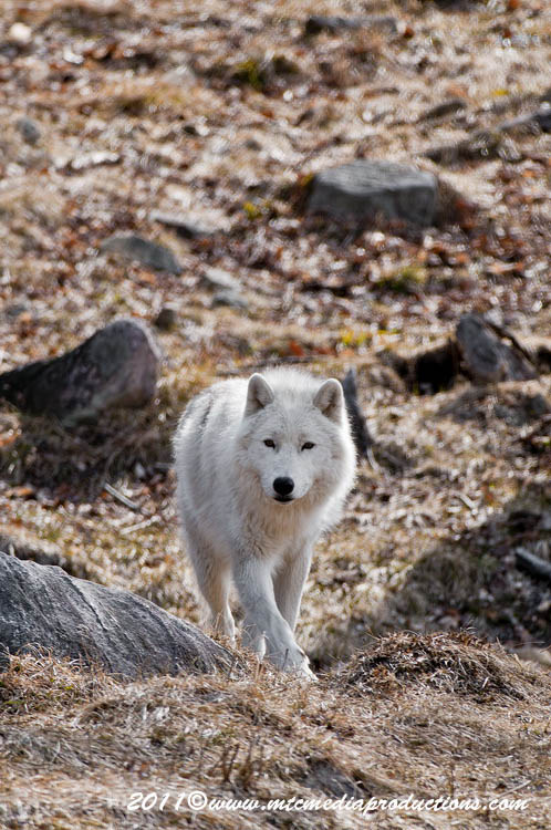 Arctic Wolf Picture-524