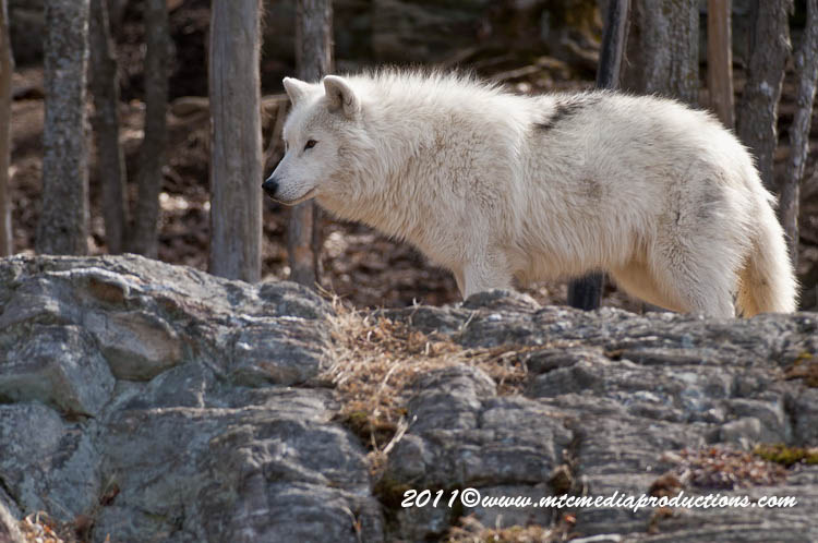 Arctic Wolf Picture-525