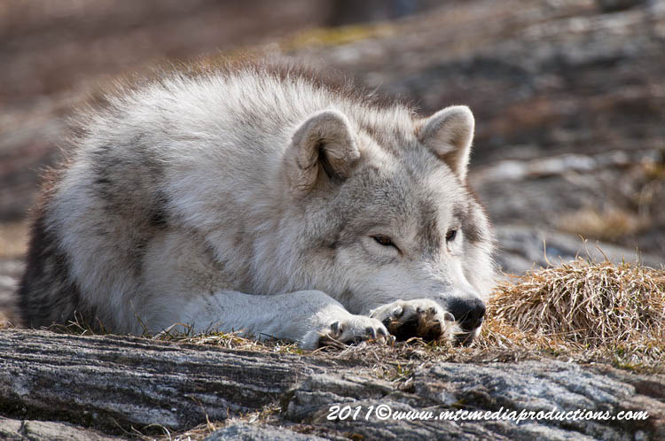 Arctic Wolf Picture-526