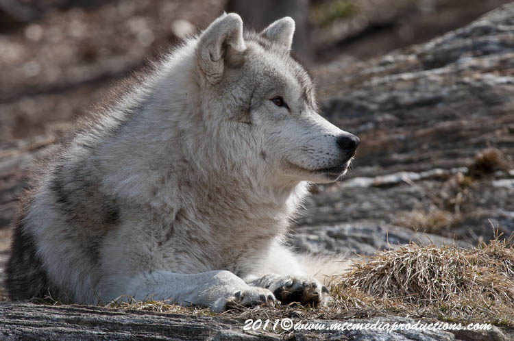 Arctic Wolf Picture-527