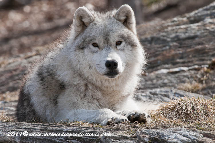Arctic Wolf Picture-528