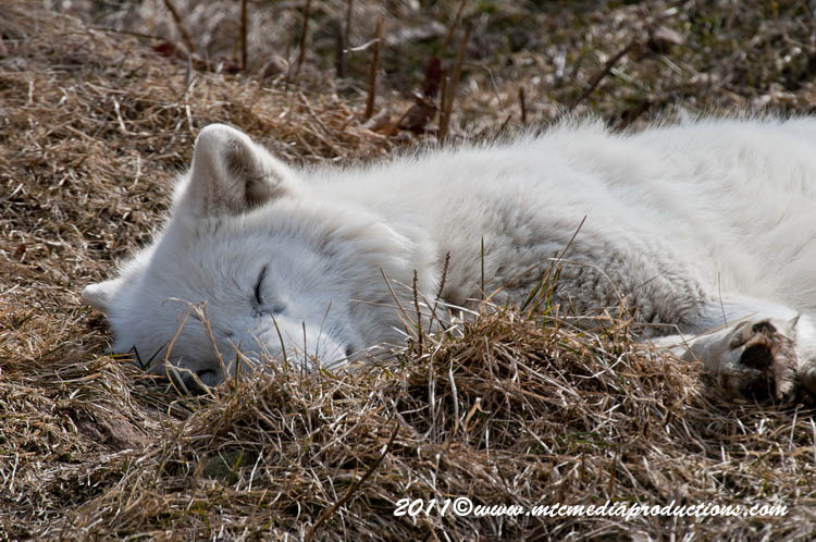 Arctic Wolf Picture-529