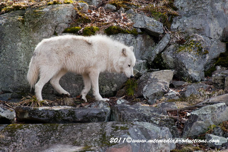 Arctic Wolf Picture-530