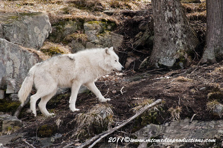 Arctic Wolf Picture-531