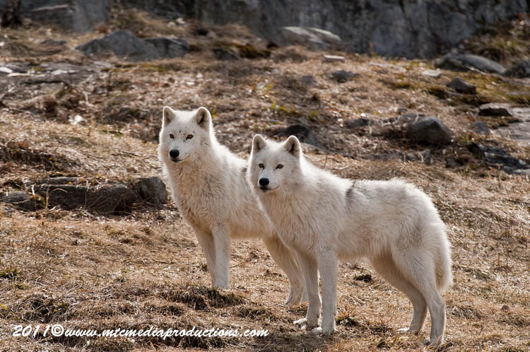 Arctic Wolf Picture-532