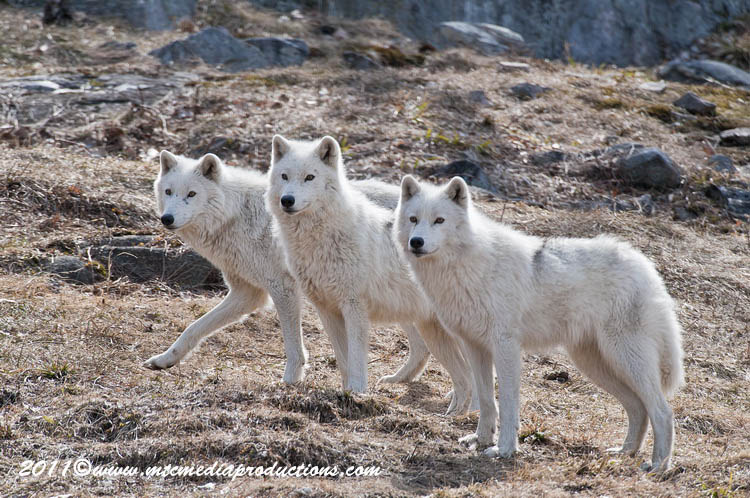 Arctic Wolf Picture-533