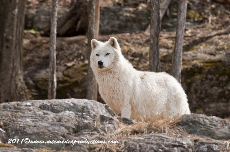 Arctic Wolf Picture-534
