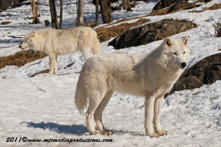 Arctic Wolf Picture-536