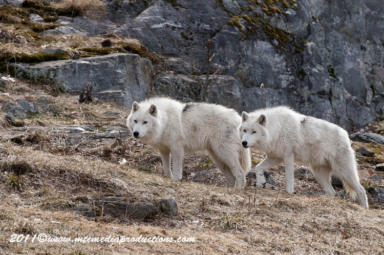 Arctic Wolf Picture-537