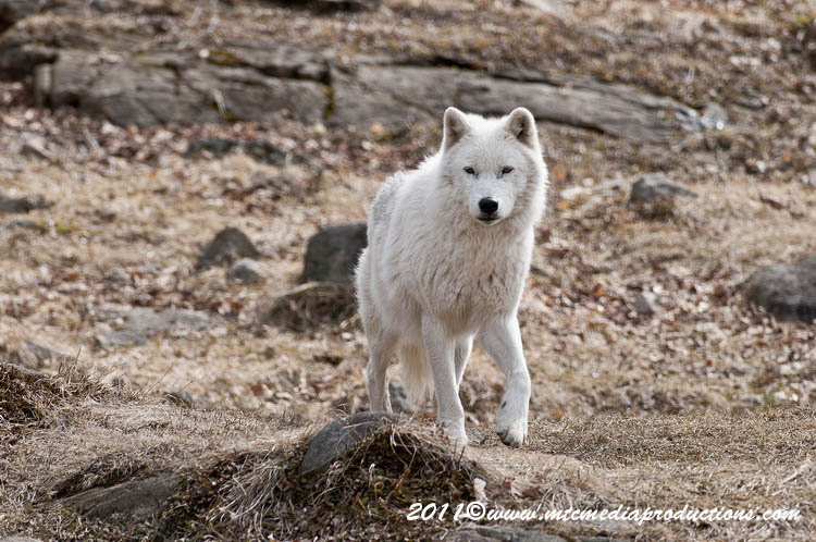 Arctic Wolf Picture-538