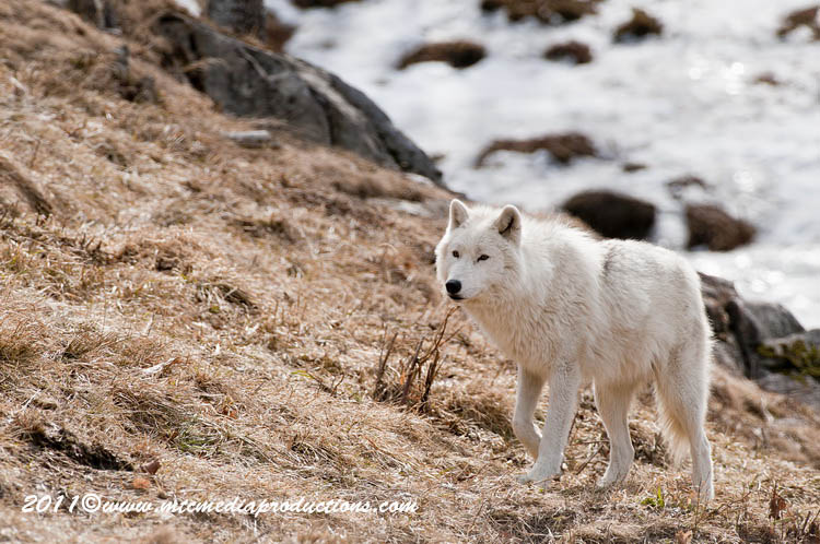 Arctic Wolf Picture-539
