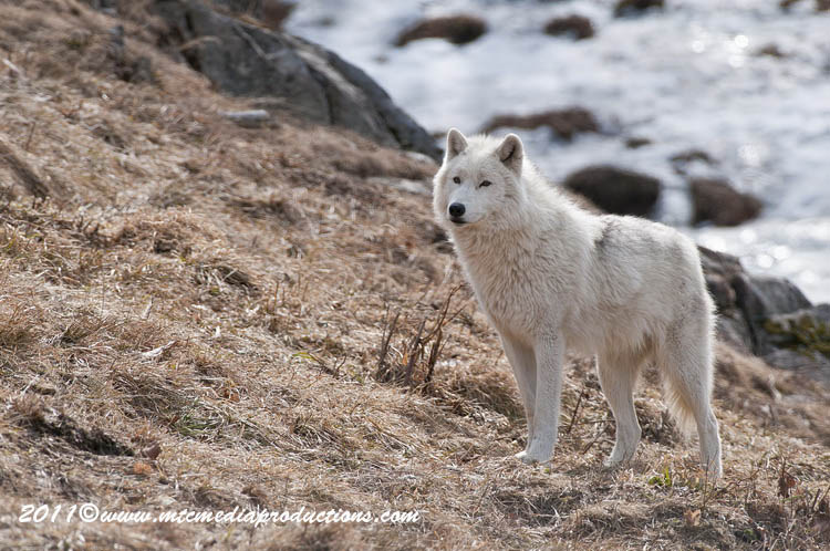 Arctic Wolf Picture-540