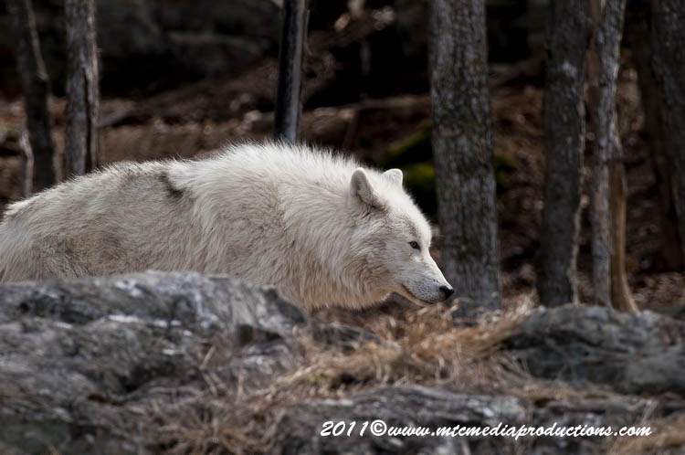 Arctic Wolf Picture-541