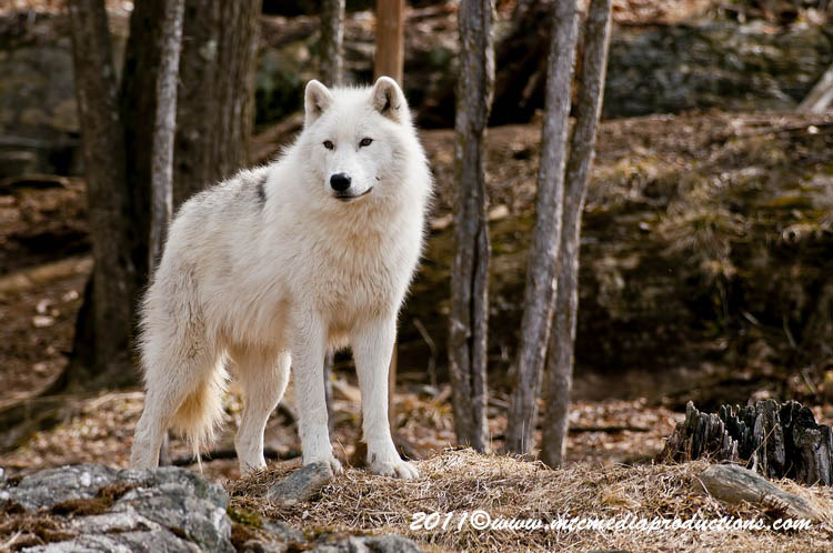 Arctic Wolf Picture-542