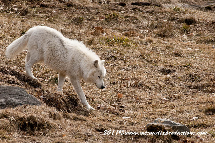 Arctic Wolf Picture-544