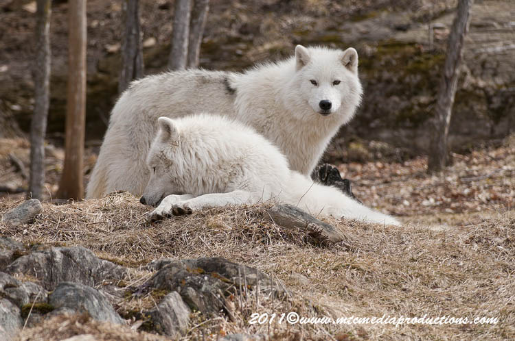 Arctic Wolf Picture-545