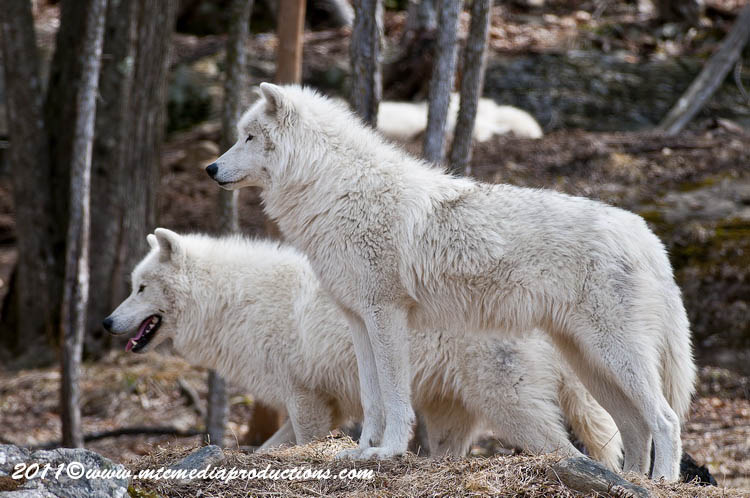 Arctic Wolf Picture-546