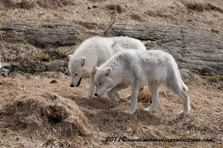 Arctic Wolf Picture-548