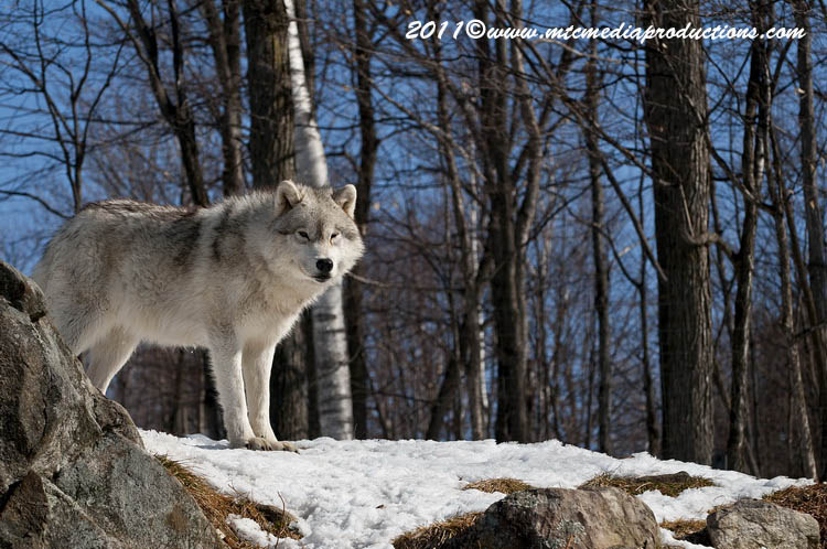 Arctic Wolf Picture-549