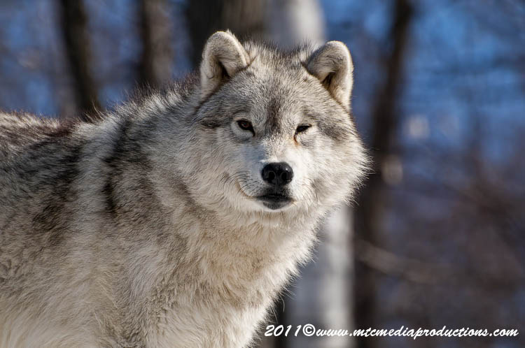 Arctic Wolf Picture-550