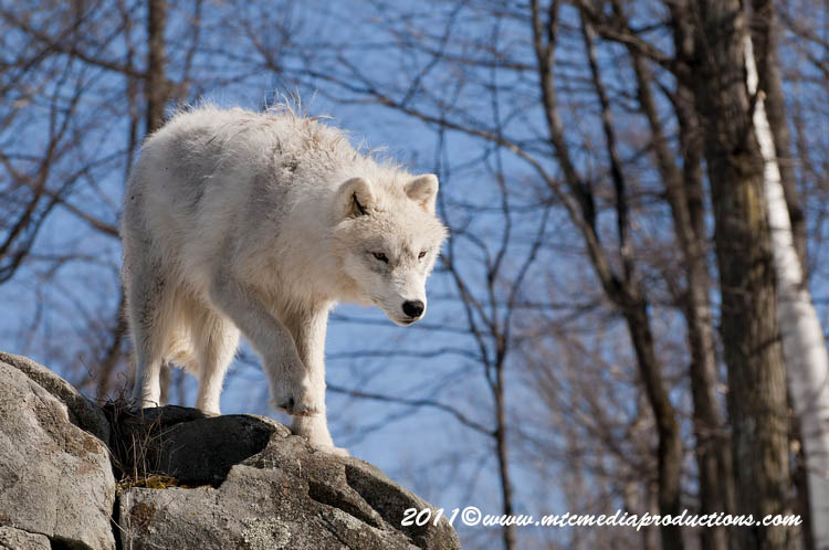 Arctic Wolf Picture-551