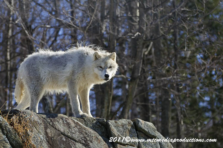 Arctic Wolf Picture-552