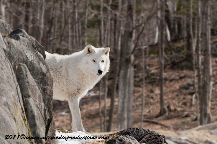 Arctic Wolf Picture-553