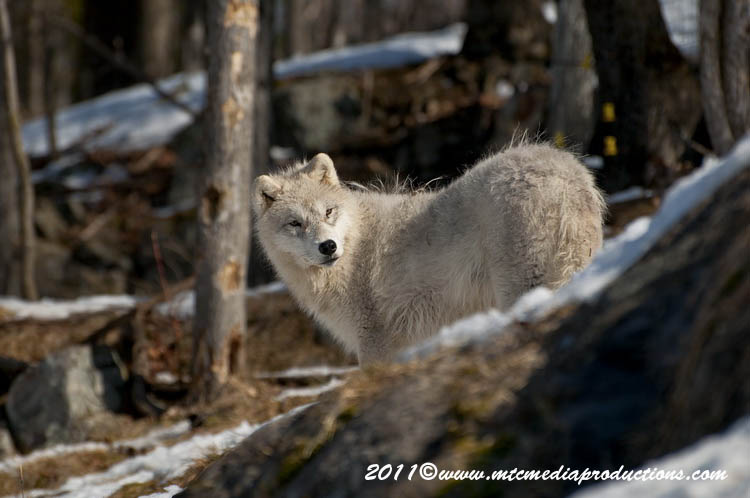 Arctic Wolf Picture-554