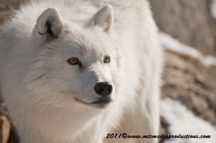 Arctic Wolf Picture-555