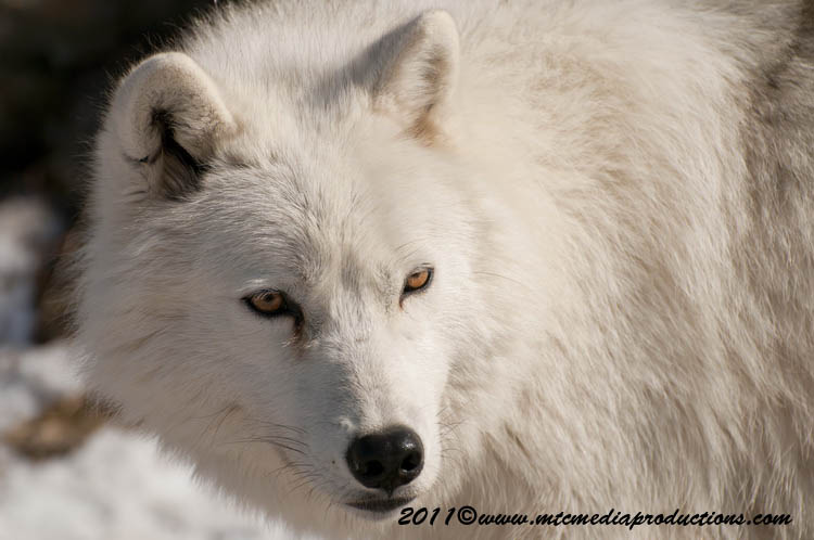 Arctic Wolf Picture-556