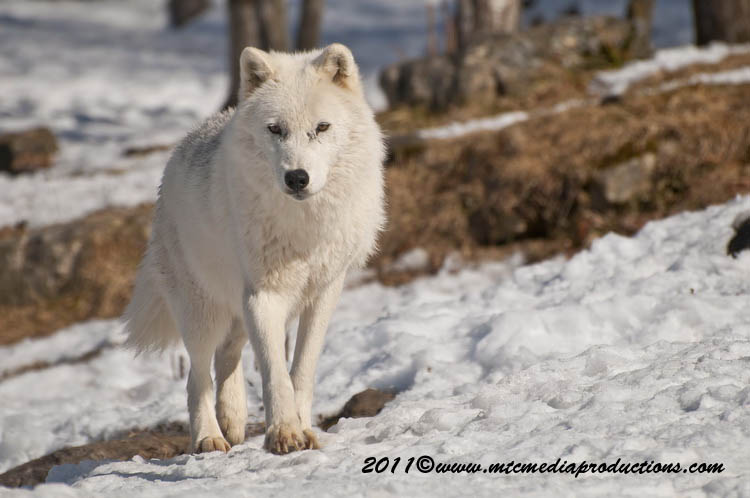 Arctic Wolf Picture-557