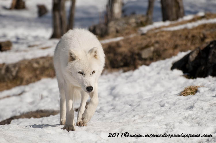 Arctic Wolf Picture-558