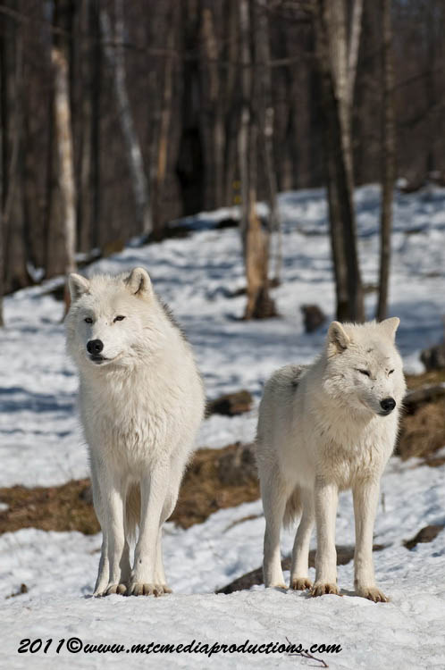Arctic Wolf Picture-559