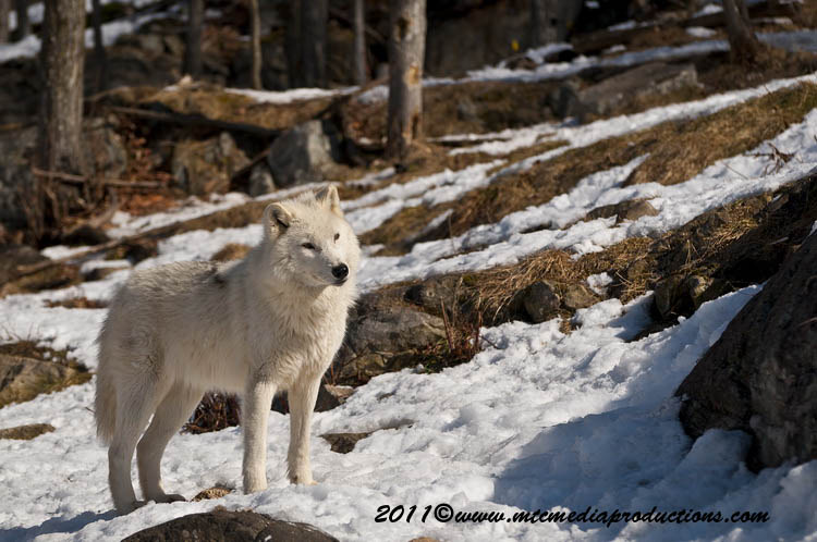 Arctic Wolf Picture-560