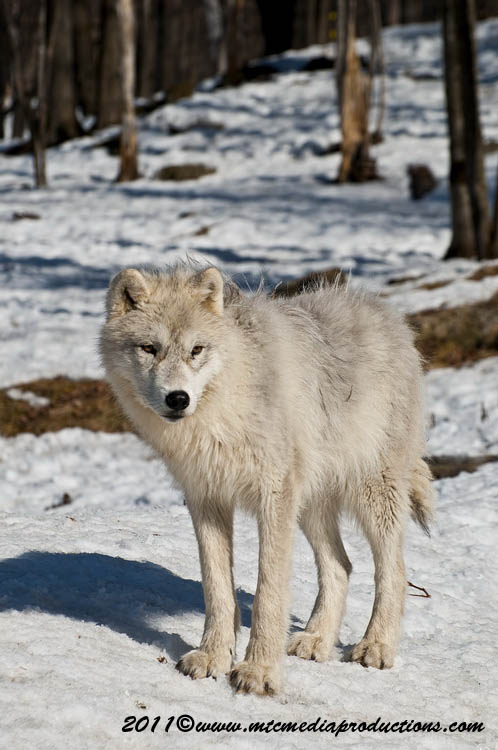 Arctic Wolf Picture-561