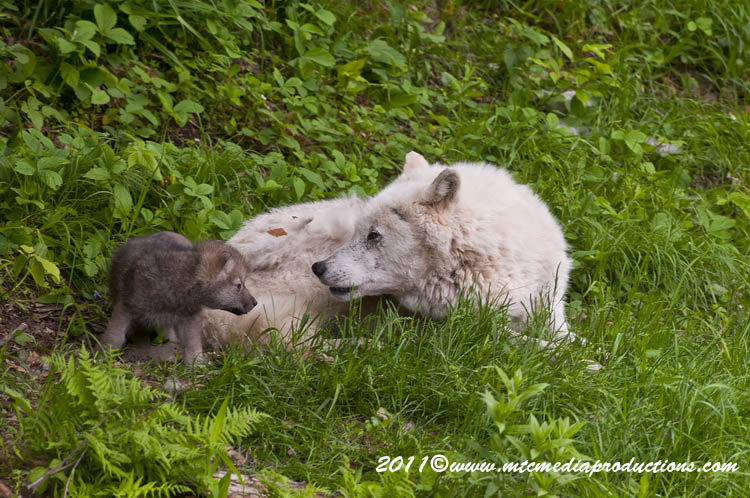 Arctic Wolf Picture-563