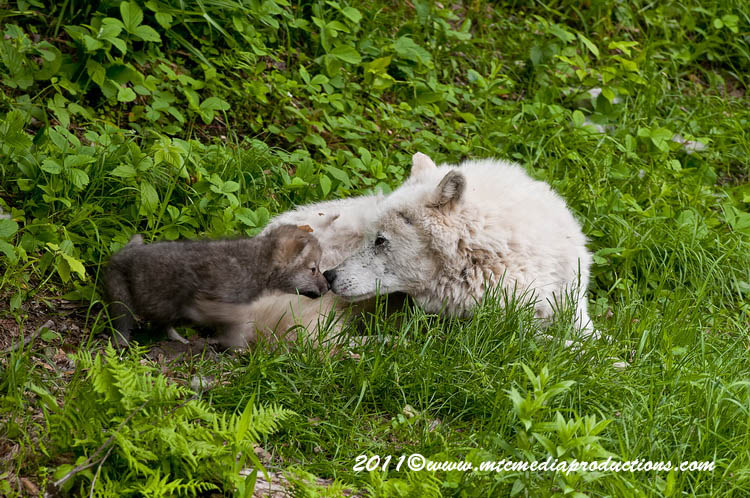 Arctic Wolf Picture-564