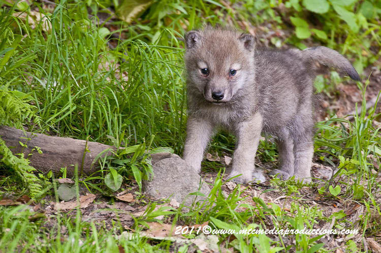 Arctic Wolf Picture-565