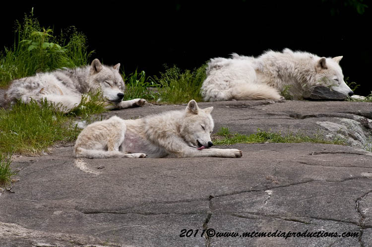 Arctic Wolf Picture-567