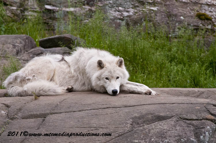 Arctic Wolf Picture-568