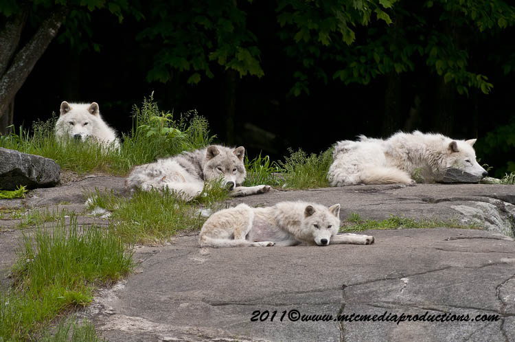 Arctic Wolf Picture-569