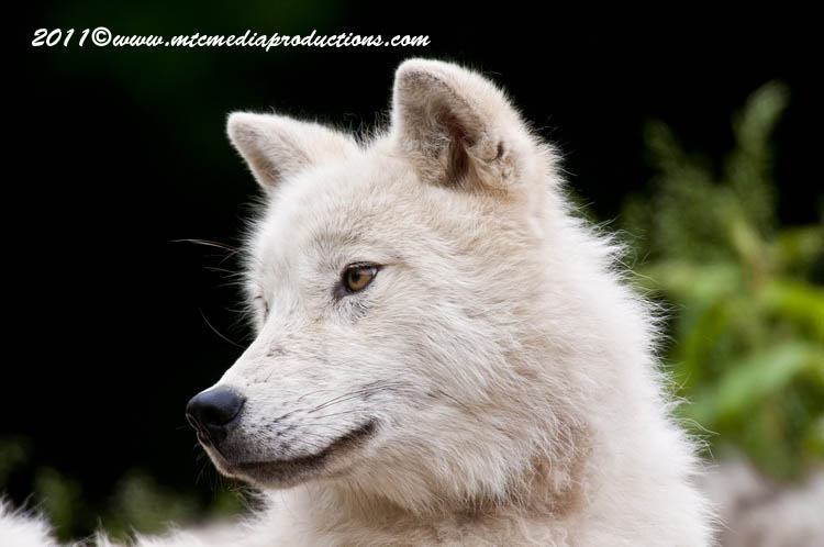 Arctic Wolf Picture-570