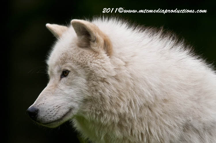 Arctic Wolf Picture-571