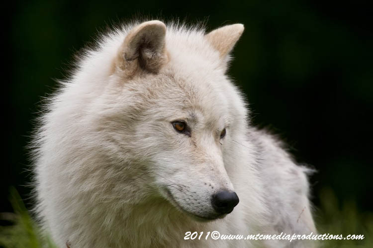 Arctic Wolf Picture-572