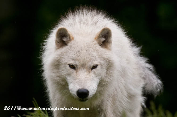 Arctic Wolf Picture-573