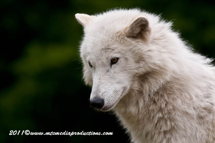 Arctic Wolf Picture-574