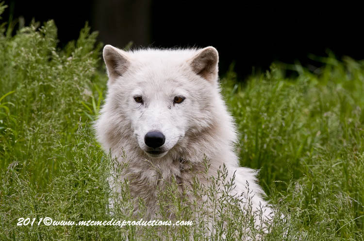 Arctic Wolf Picture-575