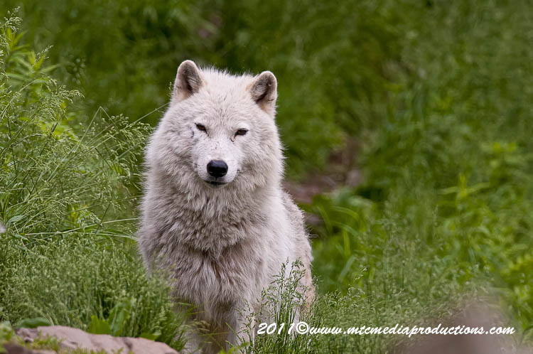 Arctic Wolf Picture-576